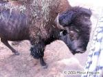 American Bison picture Picture
