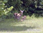 Young Fawns and Doe picture Picture