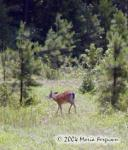 White-tailed Deer Picture Picture