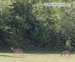 Twin White-tailed Deer Pictures Picture