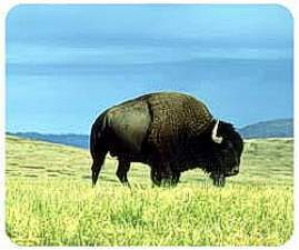 Buffalo Animal Picture