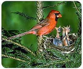 Cardinal and baby birds picture