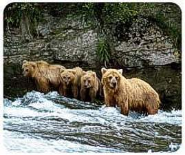 Grizzly Bear Animal Picture