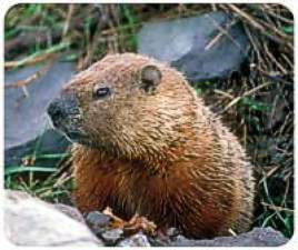 Groundhog Animal Picture
