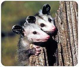 Opossum Animal Picture