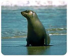 Seal Animal Picture