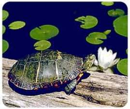 Turtle Animal Picture